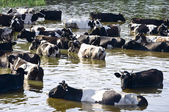 Cows on watering place on river — Stock Photo