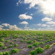 Stock Photo: Potato field on sunset under blue sky