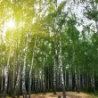 Birch trees in a summer forest under sun — Stock Photo