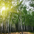 Stock Photo: Birch trees in a summer forest under sun