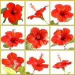 Hibiscus flower — Stock Photo #2767813