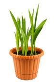 Sprouts freesia — Stock Photo