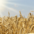 Field of wheat ready for harvesting — Stock Photo #3536575