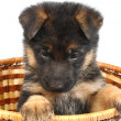 Month puppy German Shepherd — Stock Photo