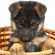 Month puppy German Shepherd - Stock Photo