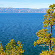 Lake Baikal. Pine tree. — Stock Photo