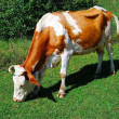 Cow — Stock Photo #2983585