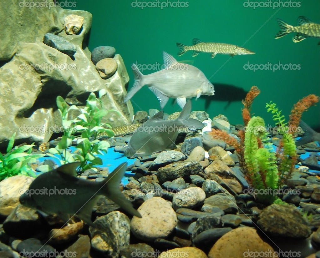 Group of fishes in the aquarium. Close up.   Stock Photo #3045723