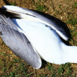 Dead seagull — Stock Photo