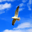 Flying seagull — Stock Photo #3894232