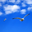 Two flying seagulls — Stock Photo