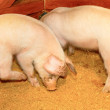 Two pigs — Stock Photo #4306956