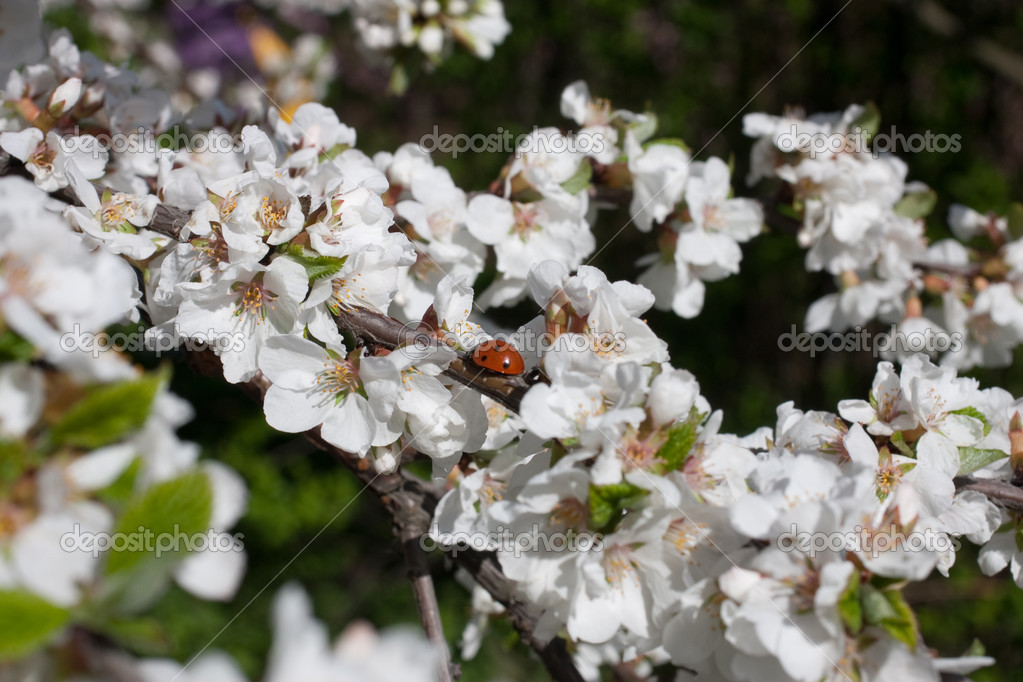 Ladybird on the blossom apple. Focus on ladybird — Stock Photo #3021311