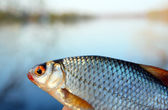 Catching roach on lake background — Stock Photo