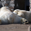 Polar bears family sleeping — Stock Photo