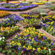 Multicolour flower beds - Stock Photo