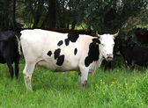 Black spotted cow — Foto de Stock