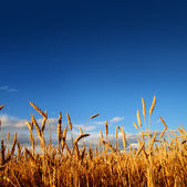 Stems of wheat in sunset light — Stock Photo