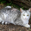 Lying gray striped cat — Stock Photo #2935313