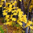 Bright yellow maple leaves — Stock Photo