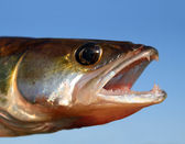 Zander fish head on sky background — Stock Photo