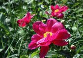 Blossom peonies — Stock Photo