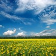 Sunflowers field under sky — Stock Photo #2942031