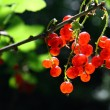 Bunch of red currant berry — Stock Photo