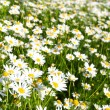 Bright camomiles on summer meadow — Stock Photo
