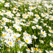 Bright camomiles on summer meadow — Stock Photo #2942425