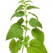 Green nettle plant — Stock Photo #2942699