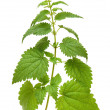 Green nettle plant - Stock Photo