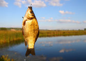 Catching crucian on lake background — Stock Photo