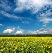 Slunečnice pole pod oblohou — Stock fotografie