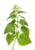 Green nettle plant — Stock Photo