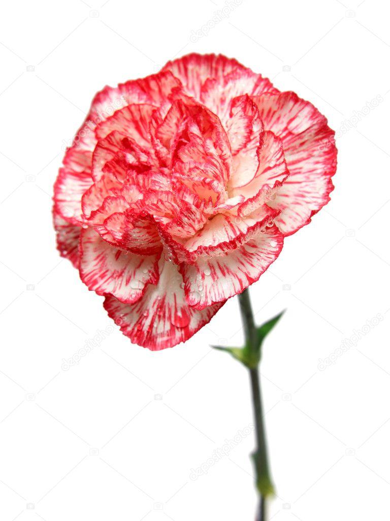 Как выглядит цветок гвоздики 112