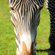 Head of grazing zebra — Stock Photo #3157653