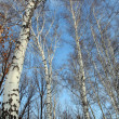 Tops of bare birch trees — Stock Photo