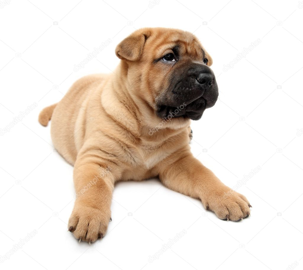 download shar pei puppies - photo #16