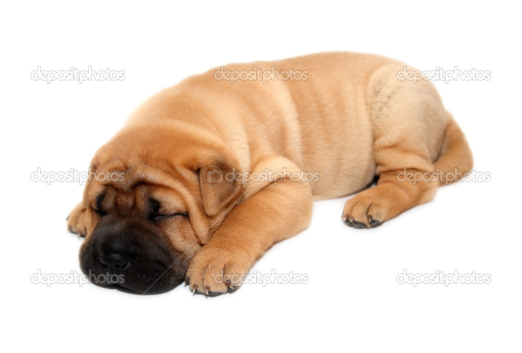 download shar pei puppies - photo #24