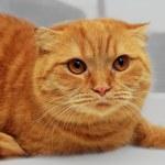 Scottish fold purebred red cat — Stock Photo