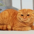 Displeased scottish fold red cat — Stock Photo