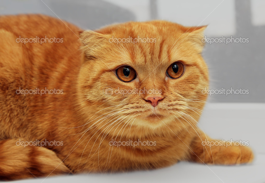 Scottish fold purebred red cat on window portrait — Stock Photo #3427927