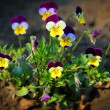 Stock Photo: Small pansy flowers