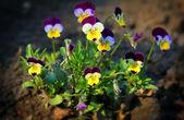 Pequenas flores de amor-perfeito — Foto Stock
