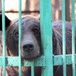 Bear closed in zoo cage — Stock Photo #3844612