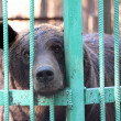 Bear closed in zoo cage - Stock Photo