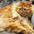 Fluffy bobtail cat - Stock Photo