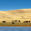 Grazing horses on yellow hills — Stock Photo #3887309