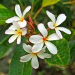 Frangipani tropical flowers - Stock Photo